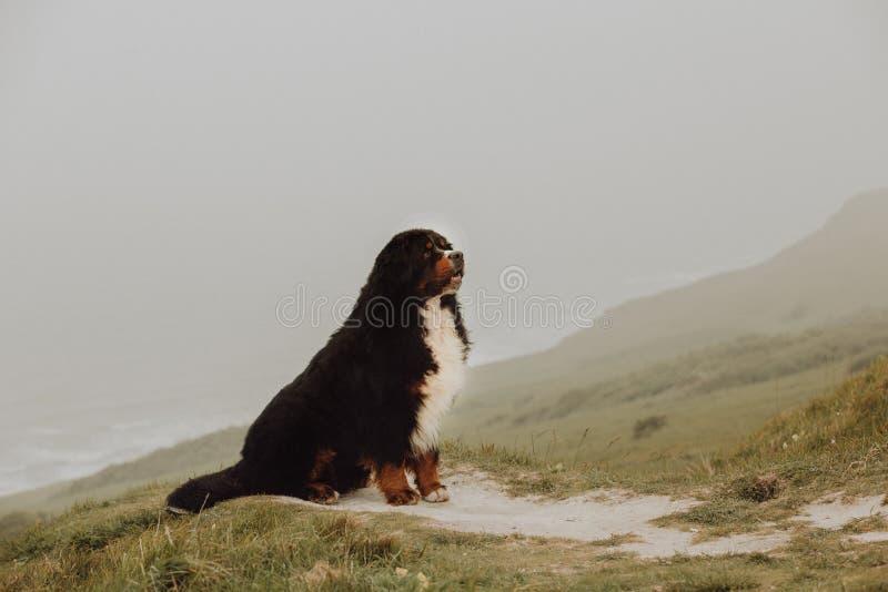 Cão de montanha de Bernese do retrato na montanha língua bonito do sorriso imagens de stock royalty free