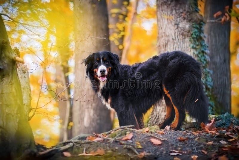 Cão de montanha de Bernese em uma floresta do outono foto de stock royalty free