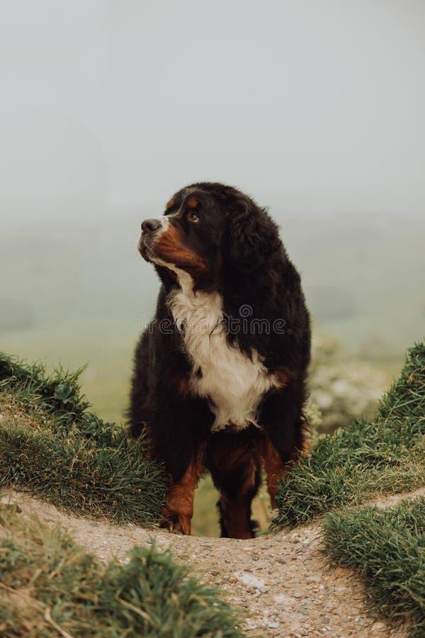 Cão de montanha de Bernese no campo na estrada Verde imagens de stock royalty free