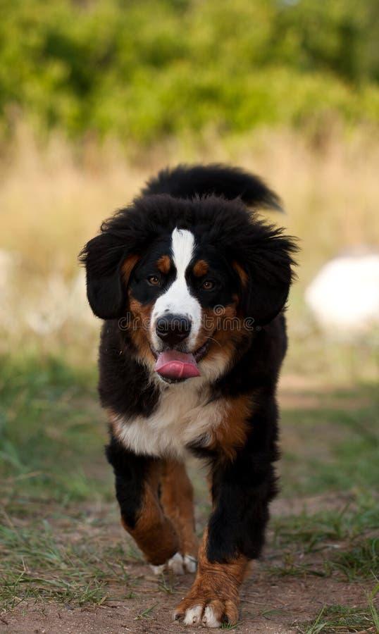 Cão de montanha de Bernese fotografia de stock