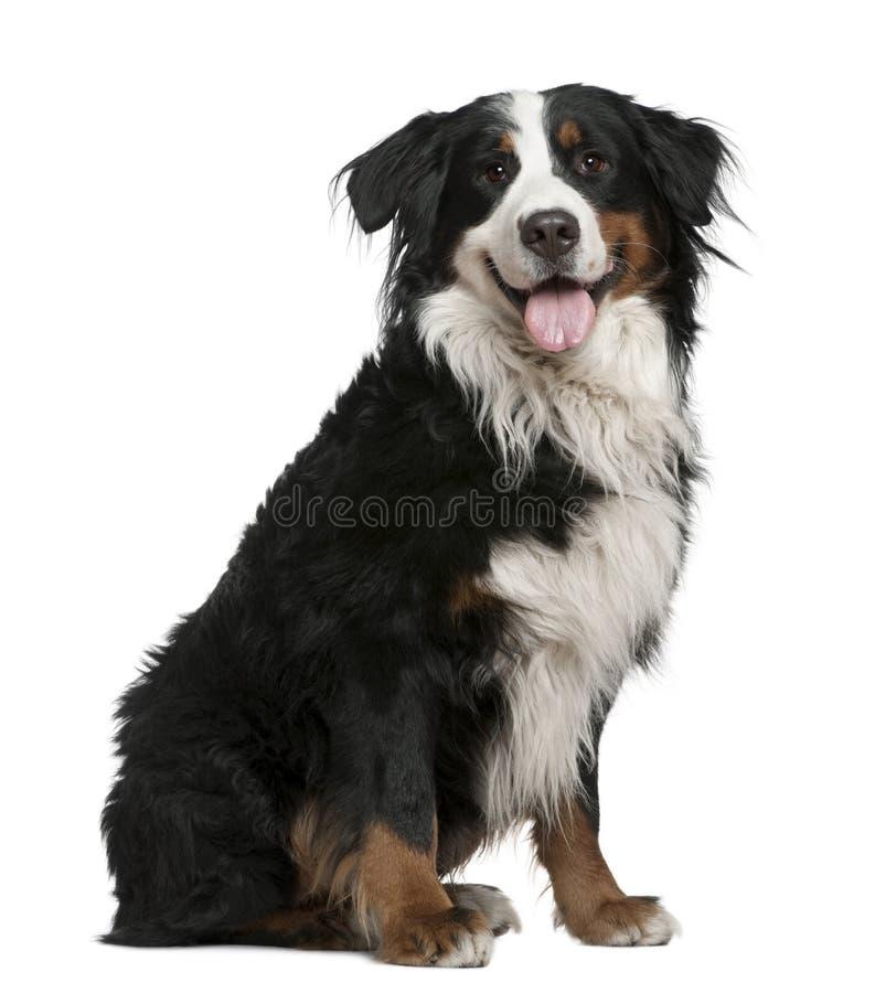 Cão de montanha de Bernese, 3 anos velho, sentando-se fotografia de stock
