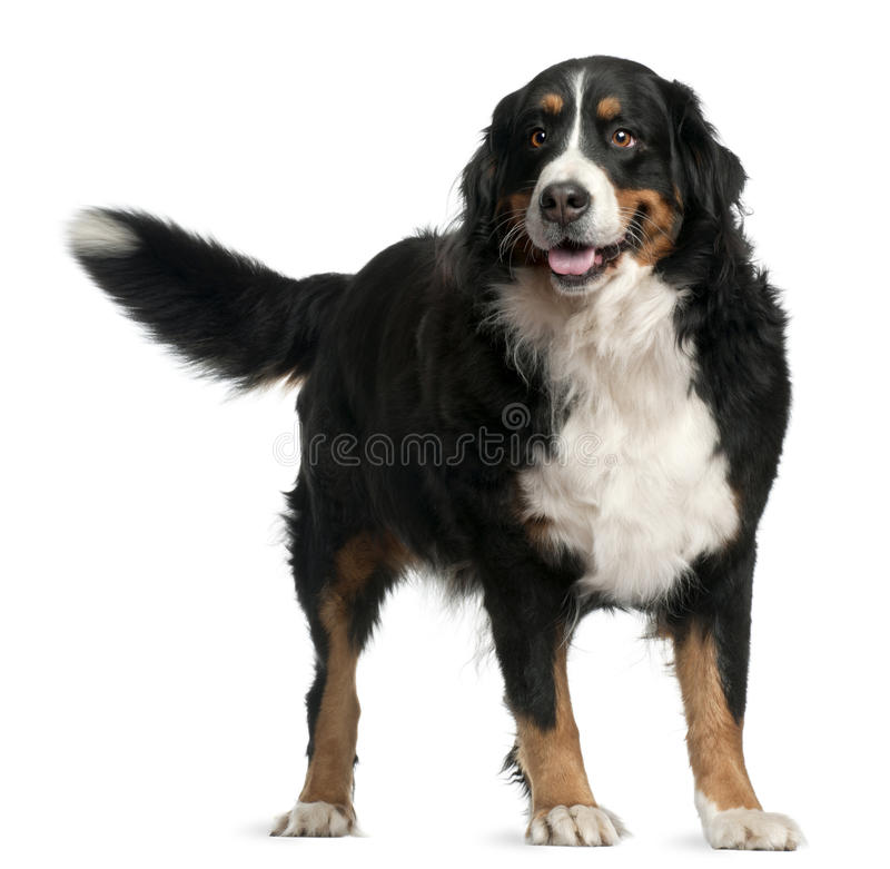 Cão de montanha de Bernese, 4 anos velho, posição fotografia de stock