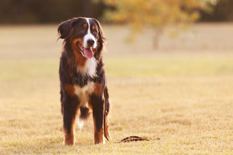 Cão de montanha de Bernese bonito fotografia de stock royalty free
