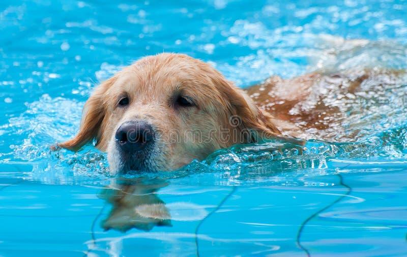 Cão de natação imagem de stock