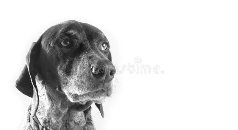 Cão de pássaro do ponteiro fotografia de stock