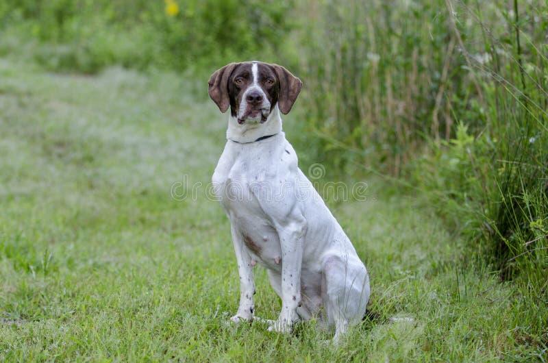 Cão de pássaro inglês do ponteiro fotografia de stock royalty free