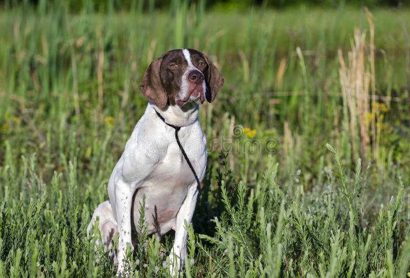 Cão de pássaro inglês do ponteiro fotos de stock royalty free