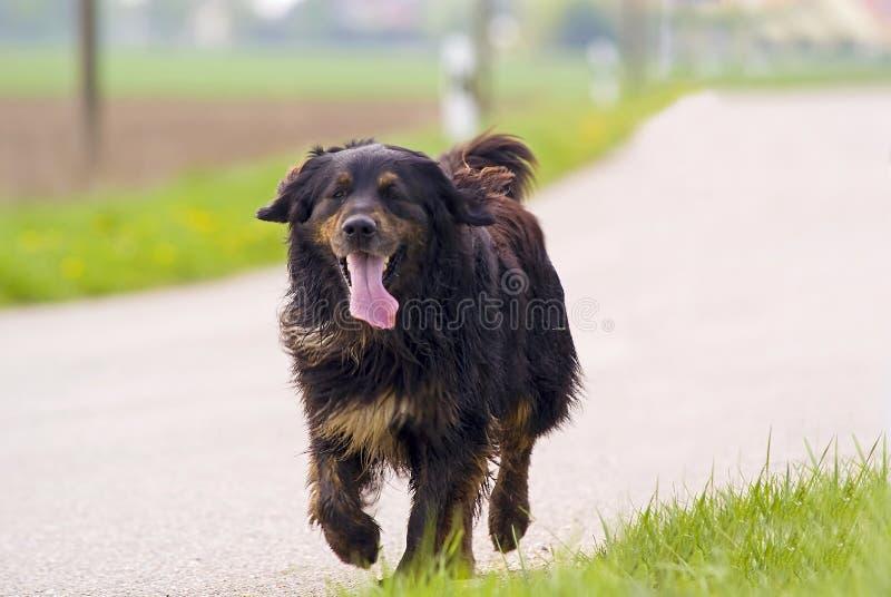 Download Cão de passeio foto de stock. Imagem de funcionamento - 12810302