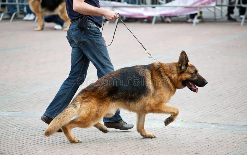 Cão de passeio com pastor alemão fotografia de stock