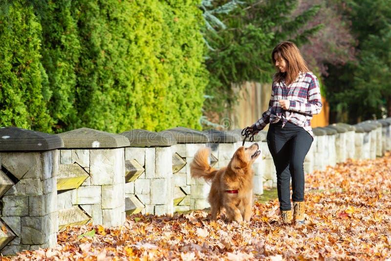 Cão de passeio do golden retriever da mulher na pilha das folhas da queda foto de stock