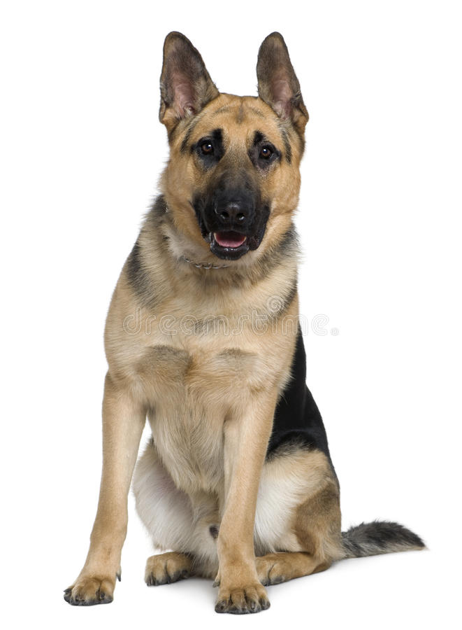 Cão de pastor alemão, 10 meses velho, sentando-se imagens de stock