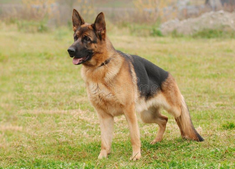 Cão de pastor alemão foto de stock royalty free
