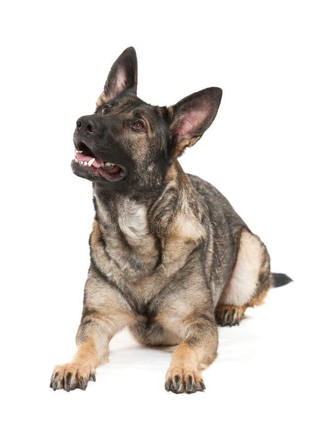 Cão de pastor alemão cinzento fotos de stock royalty free