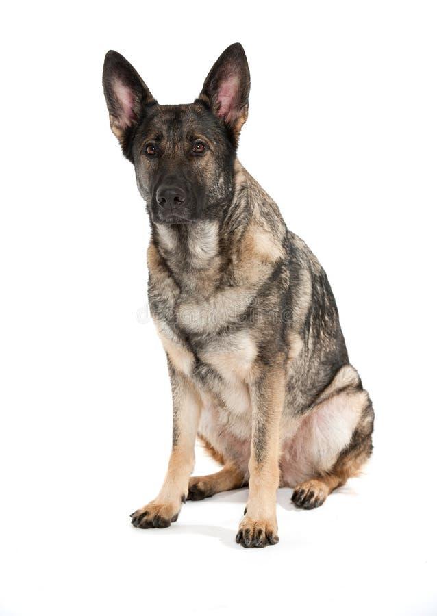 Cão de pastor alemão cinzento imagens de stock royalty free