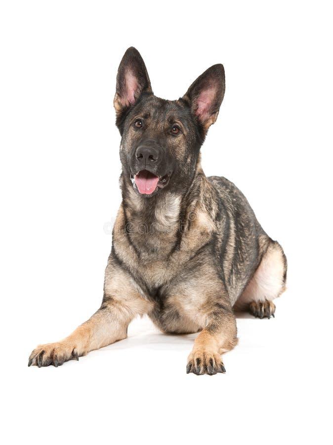 Cão de pastor alemão cinzento fotografia de stock