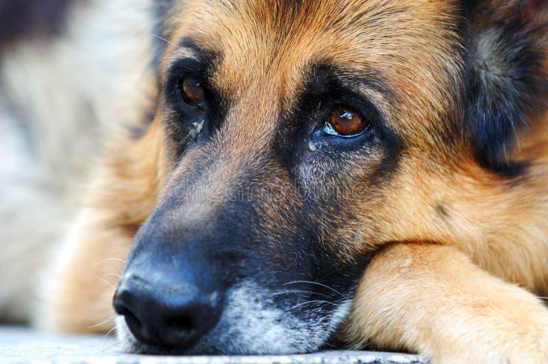 Cão de pastor alemão triste fotografia de stock royalty free