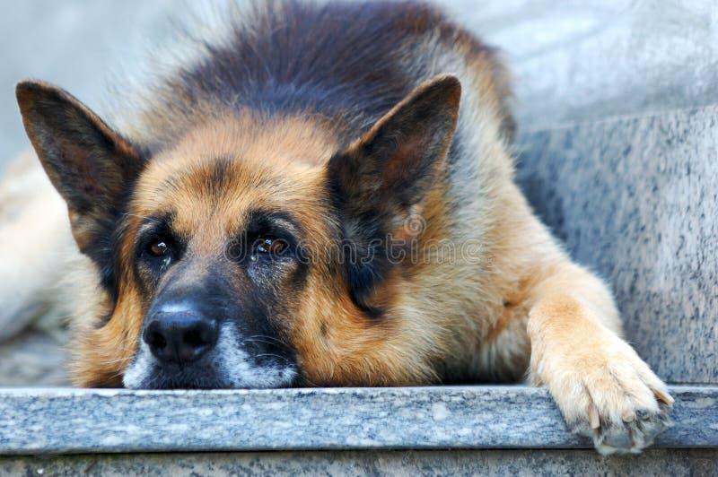Cão de pastor alemão triste imagem de stock royalty free