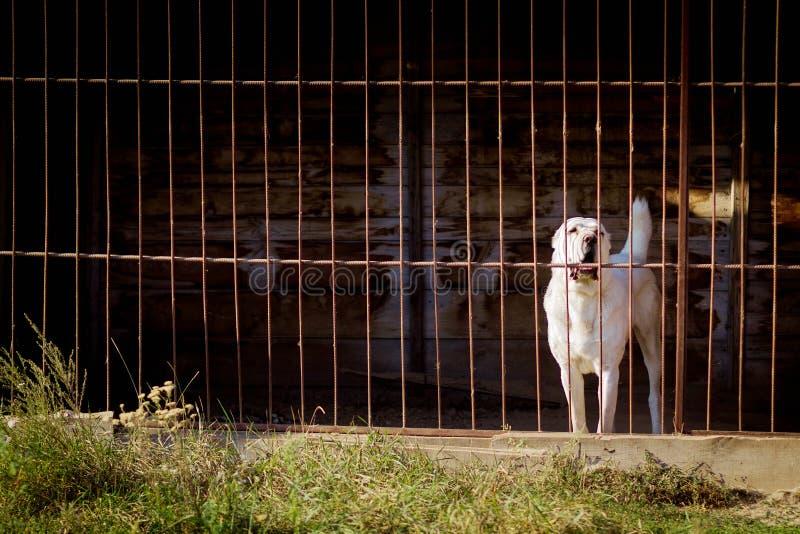 Cão de pastor asiático central imagens de stock