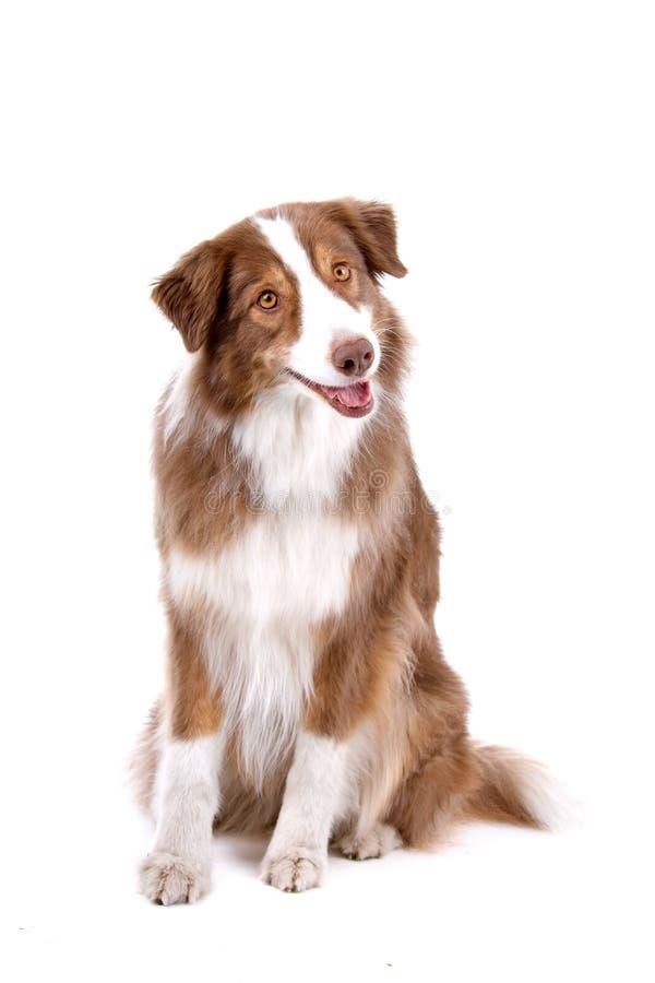 Cão de pastor australiano imagens de stock