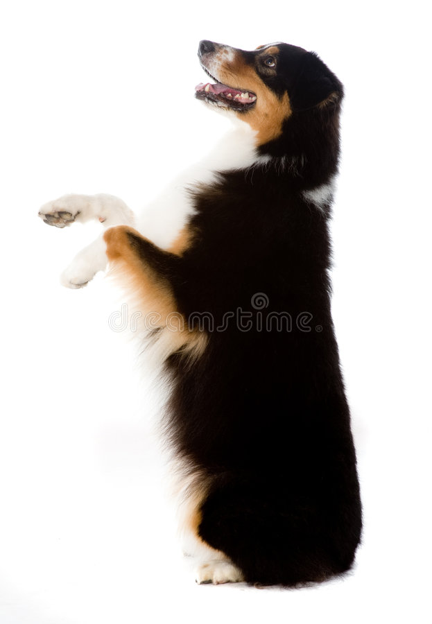 Cão de pastor australiano imagem de stock royalty free