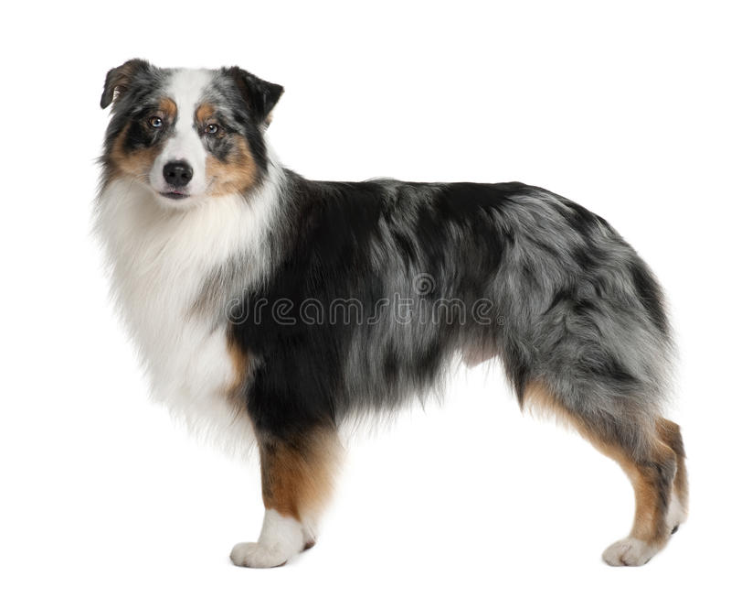 Cão de pastor australiano, estando foto de stock