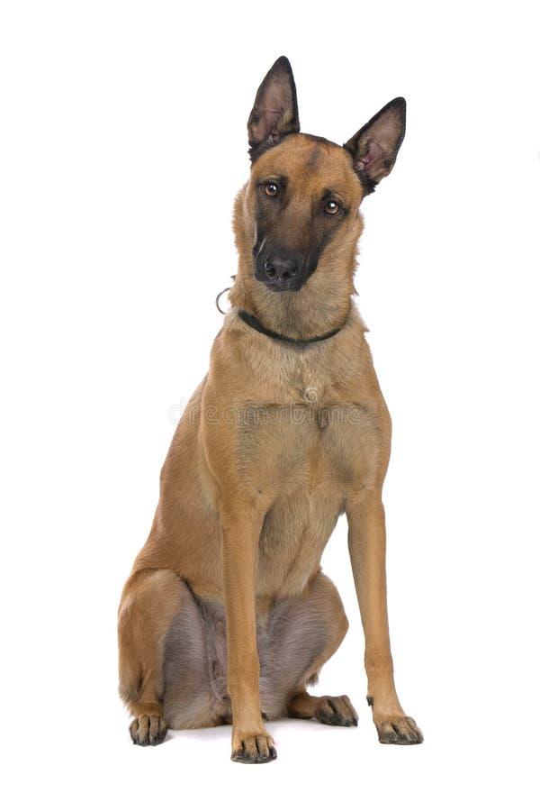 Cão de pastor belga foto de stock