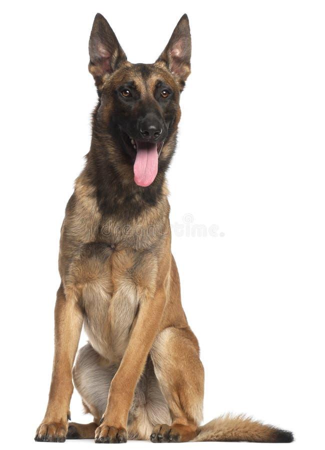 Cão de pastor belga, 12 meses velho, sentando-se fotos de stock royalty free