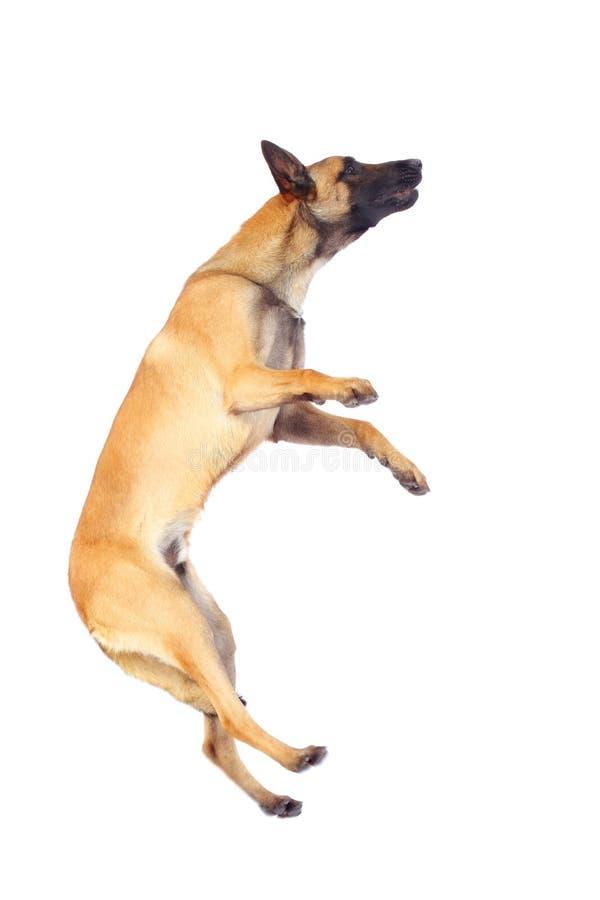 Cão de pastor belga imagem de stock royalty free