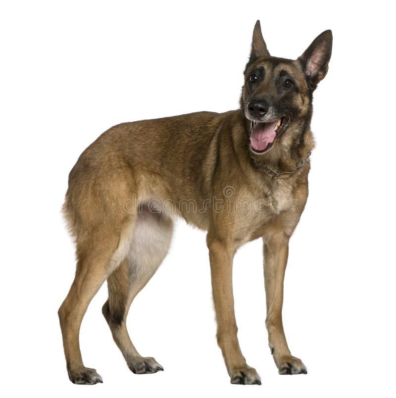 Cão de pastor belga, 9 anos velho, posição imagem de stock royalty free