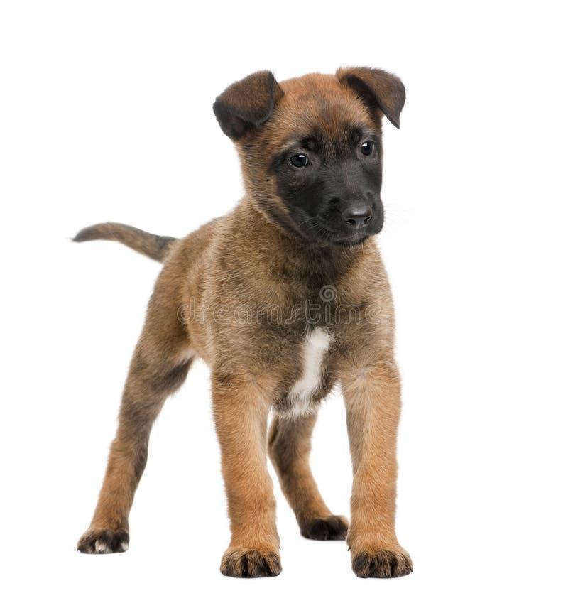 Cão de pastor belga de encontro ao fundo branco imagens de stock royalty free