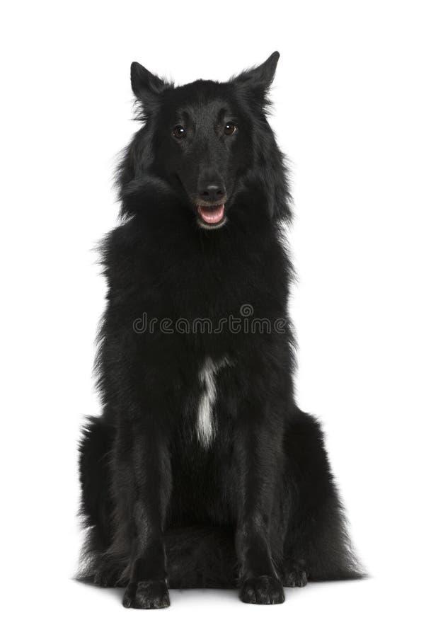 Cão de pastor belga, Groenendael, 2 anos velho imagem de stock