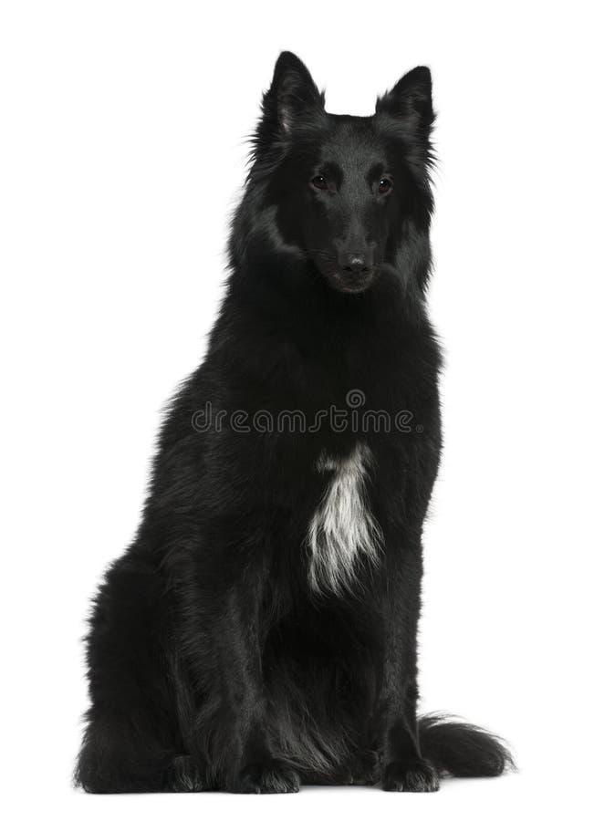 Cão de pastor belga, Groenendael, 2 anos velho fotografia de stock royalty free