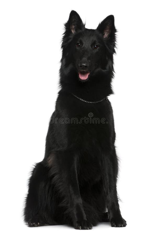 Cão de pastor belga, Groenendael, 21 meses velho foto de stock