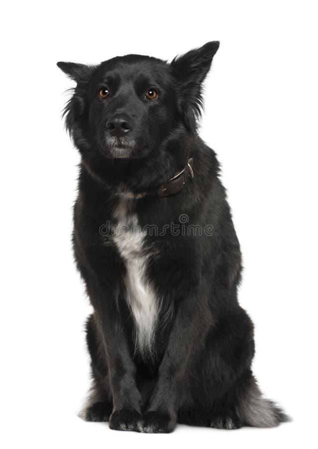 Cão de pastor belga, Groenendael, sentando-se foto de stock royalty free