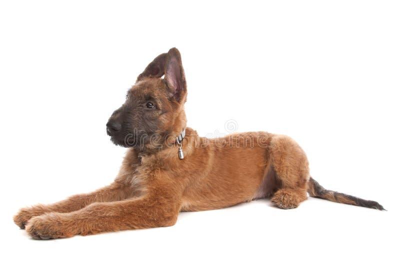 Cão de pastor belga, Laekenois foto de stock