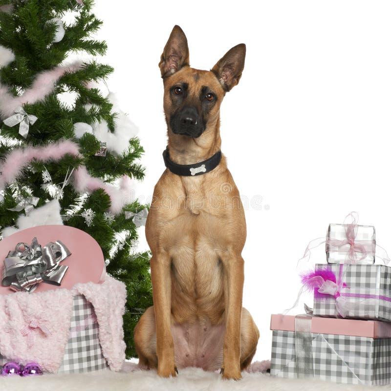 Cão de pastor belga, Malinois, o 1 anos de idade foto de stock