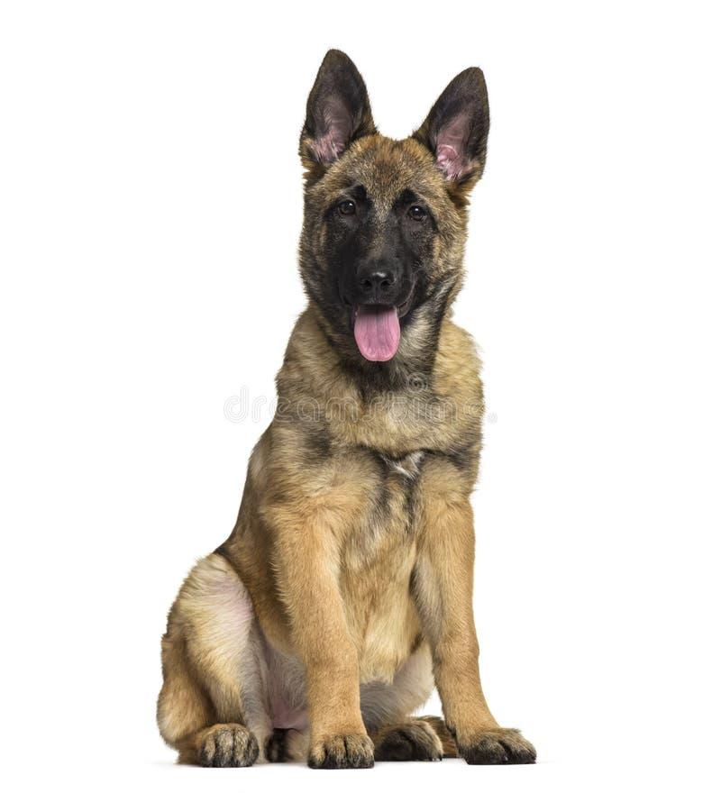 Cão de pastor belga, 4 meses velho imagens de stock