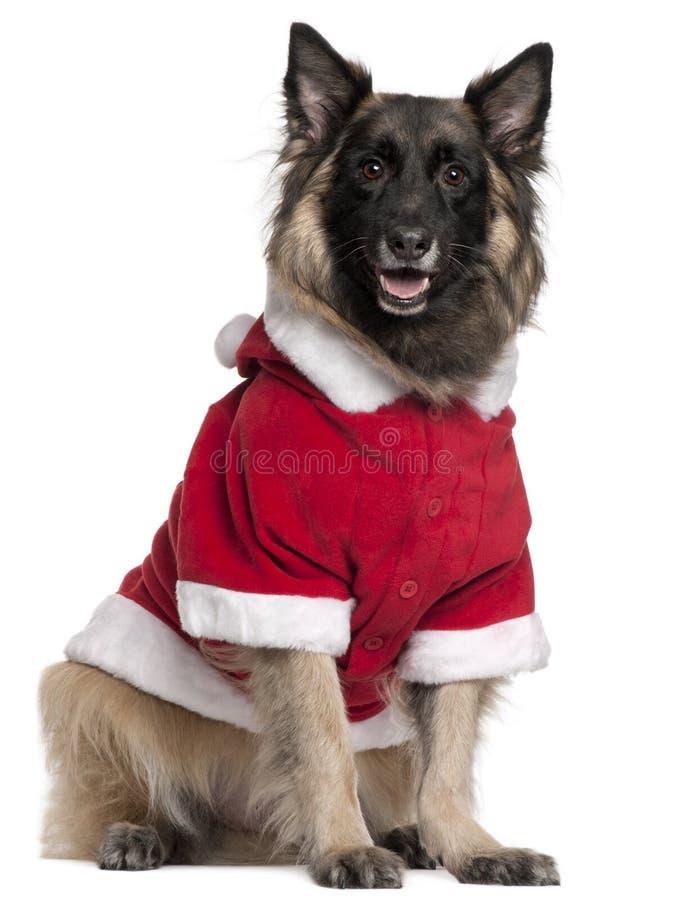 Cão de pastor belga ou Tervuren fotos de stock