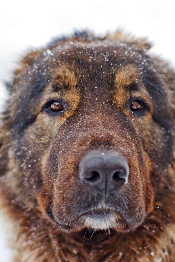 Cão de pastor caucasiano imagens de stock