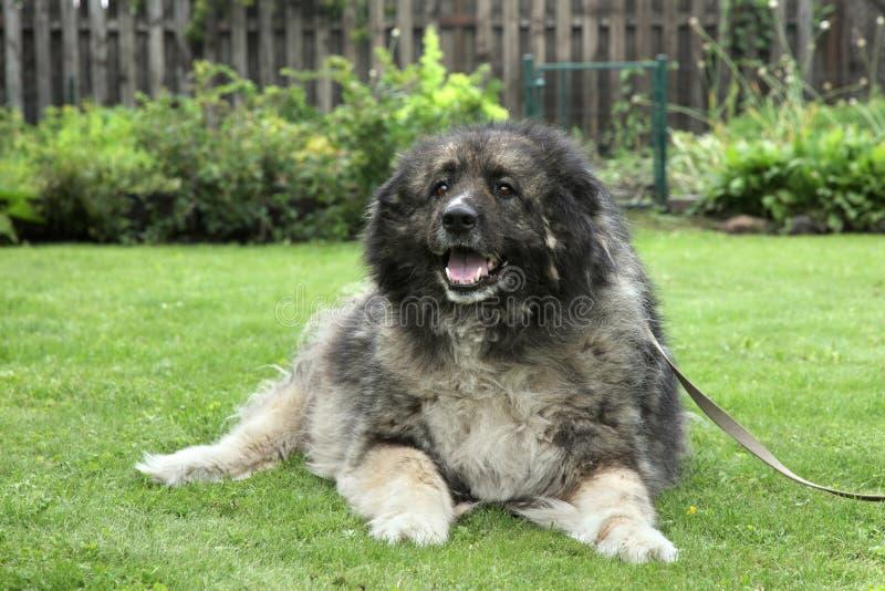 Cão de pastor caucasiano adulto na grama fotos de stock