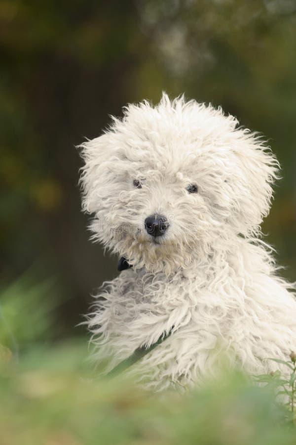 Cão de pastor húngaro   imagem de stock