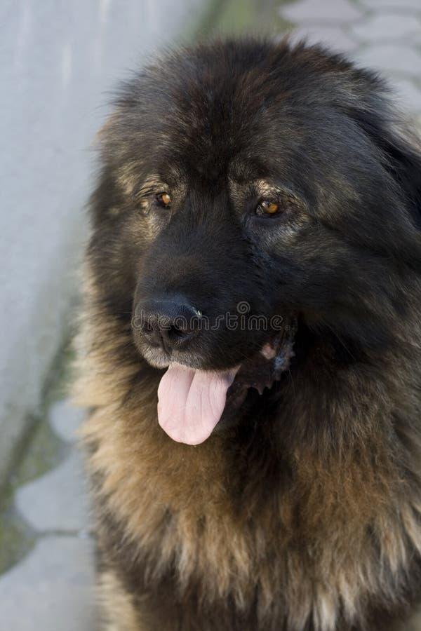 Cão de pastor macedónio, foto de stock royalty free
