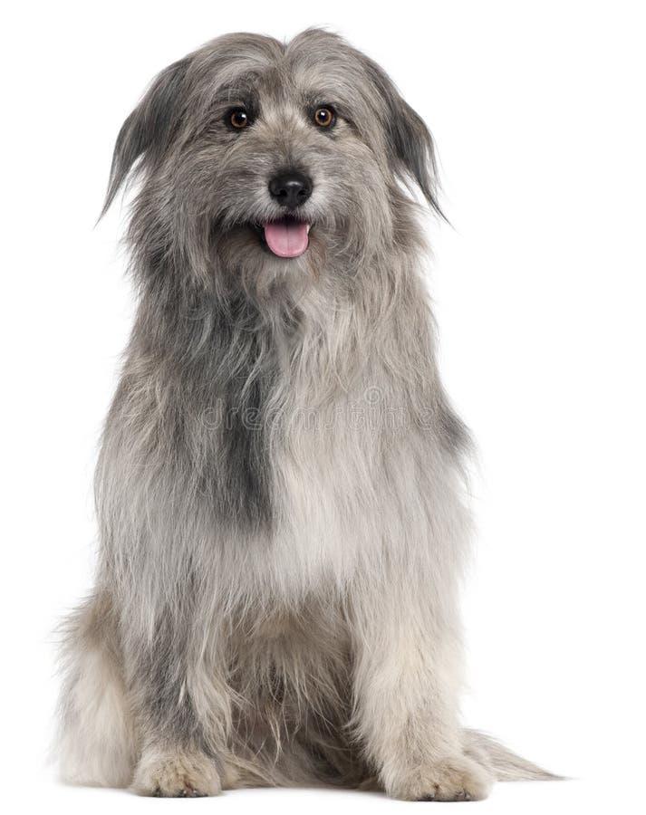 Cão de pastor pirenaico, 18 meses velho, sentando-se imagem de stock royalty free