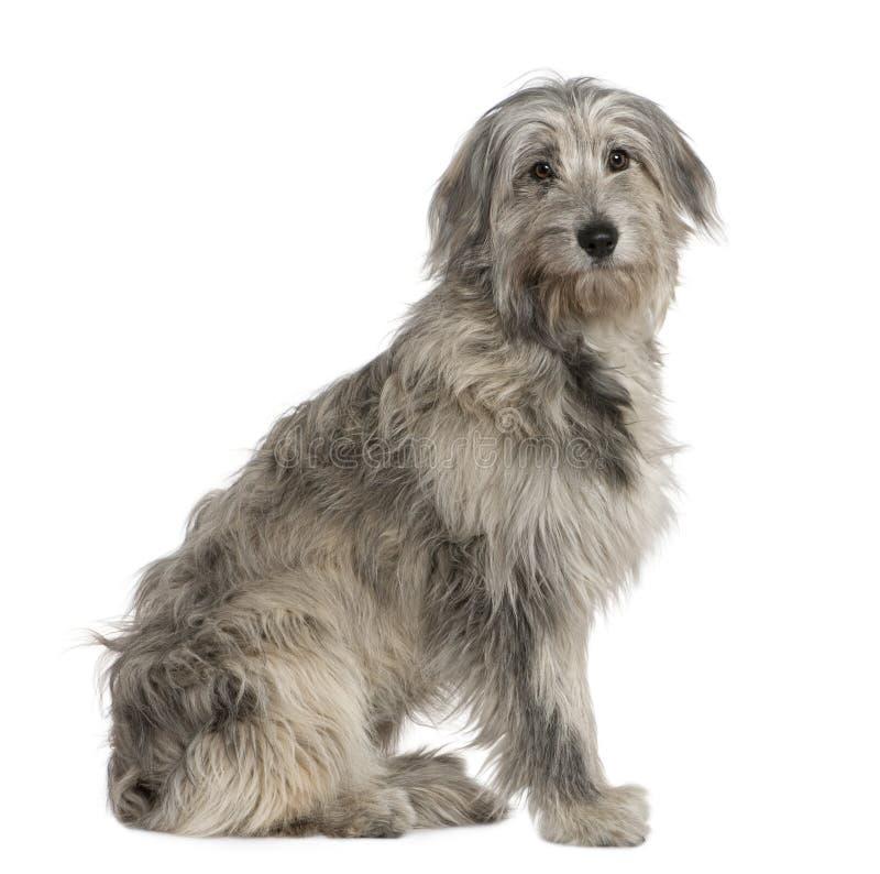 Cão de pastor pirenaico, 7 meses velho, sentando-se fotografia de stock