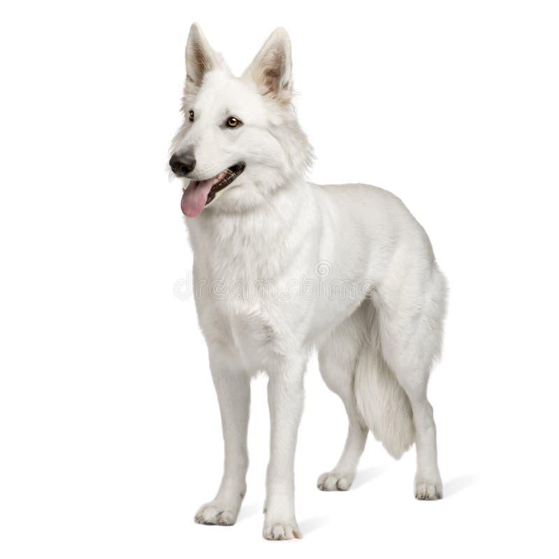 Cão de pastor suíço branco (10 meses) fotografia de stock