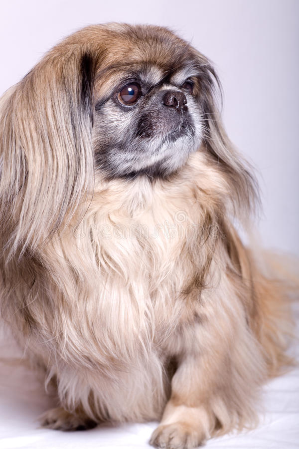Cão de Pekingese fotos de stock royalty free