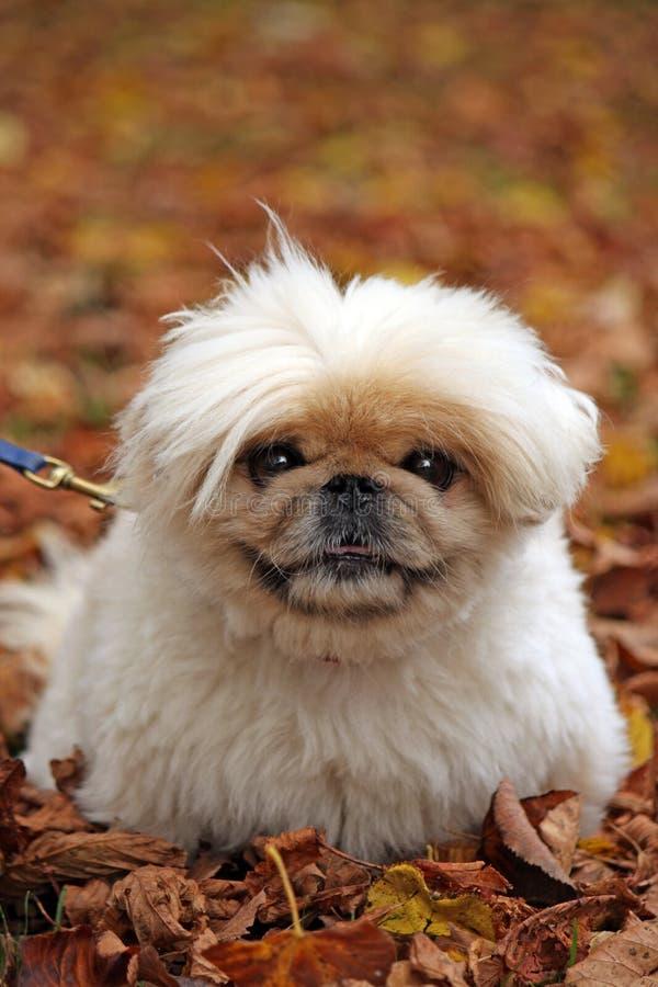 Cão de Pekingese fotografia de stock royalty free