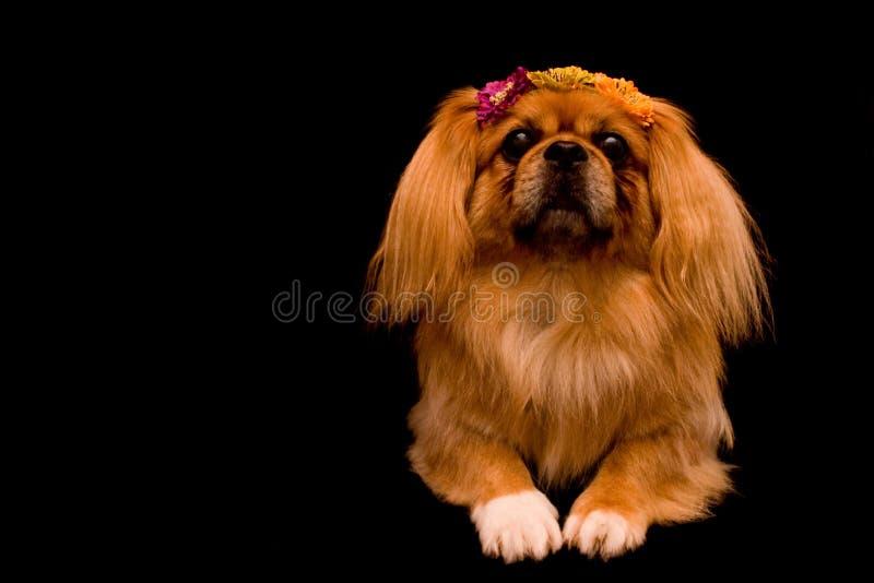 Cão de Pekingese com fundo preto imagens de stock