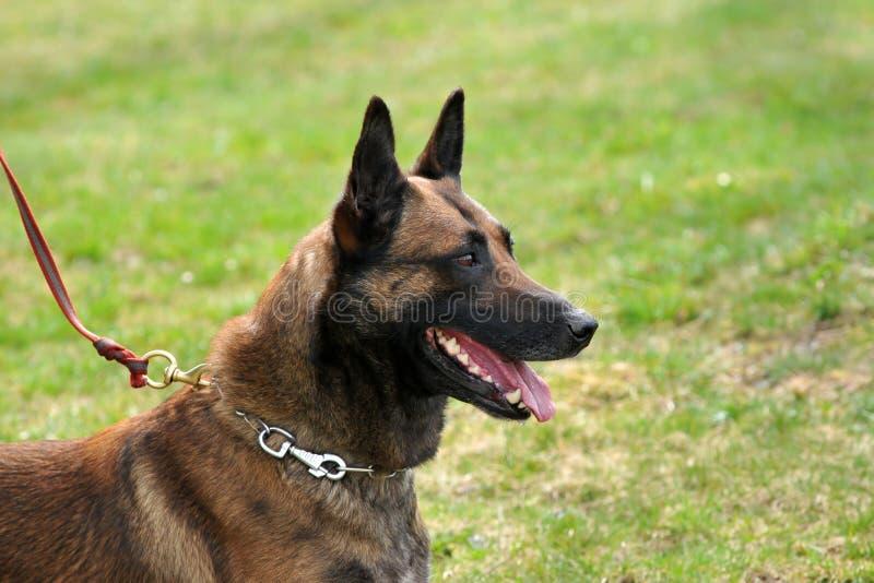 Cão de polícia imagem de stock royalty free