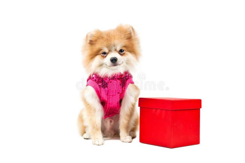 Cão de Pomeranian ao lado de uma caixa atual vermelha fotografia de stock royalty free